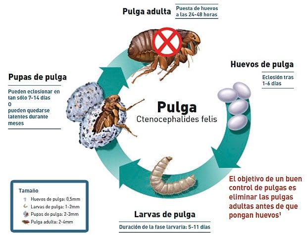 Pulgas reproducci n enfermedades s ntomas y m s - Matar pulgas en casa ...