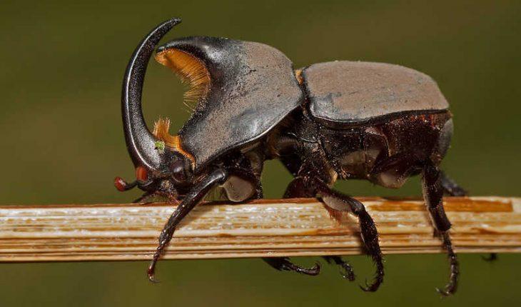 Escarabajo rinoceronte coleópteros