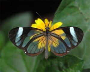 tipos de mariposa colombiana