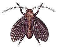 tipo de mosca del drenaje