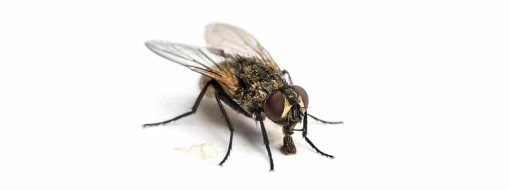 que significan las moscas negras grandes
