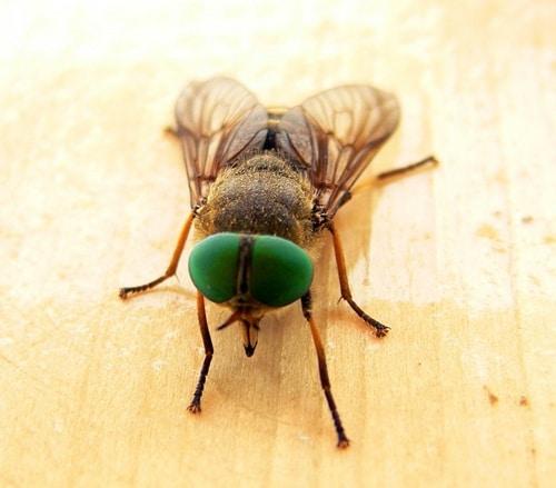 otros tipos de moscas
