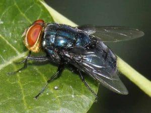 tipos de moscas azules