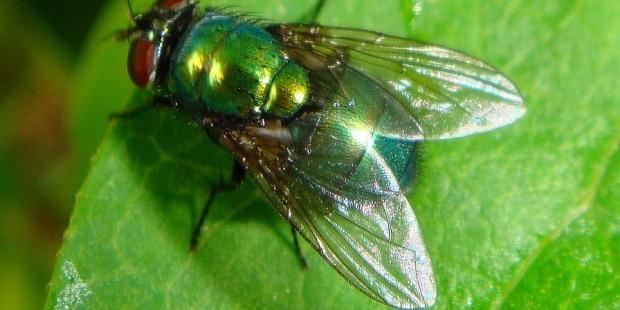 tipo de mosca verde