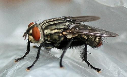 clasificación de los tipos de moscas