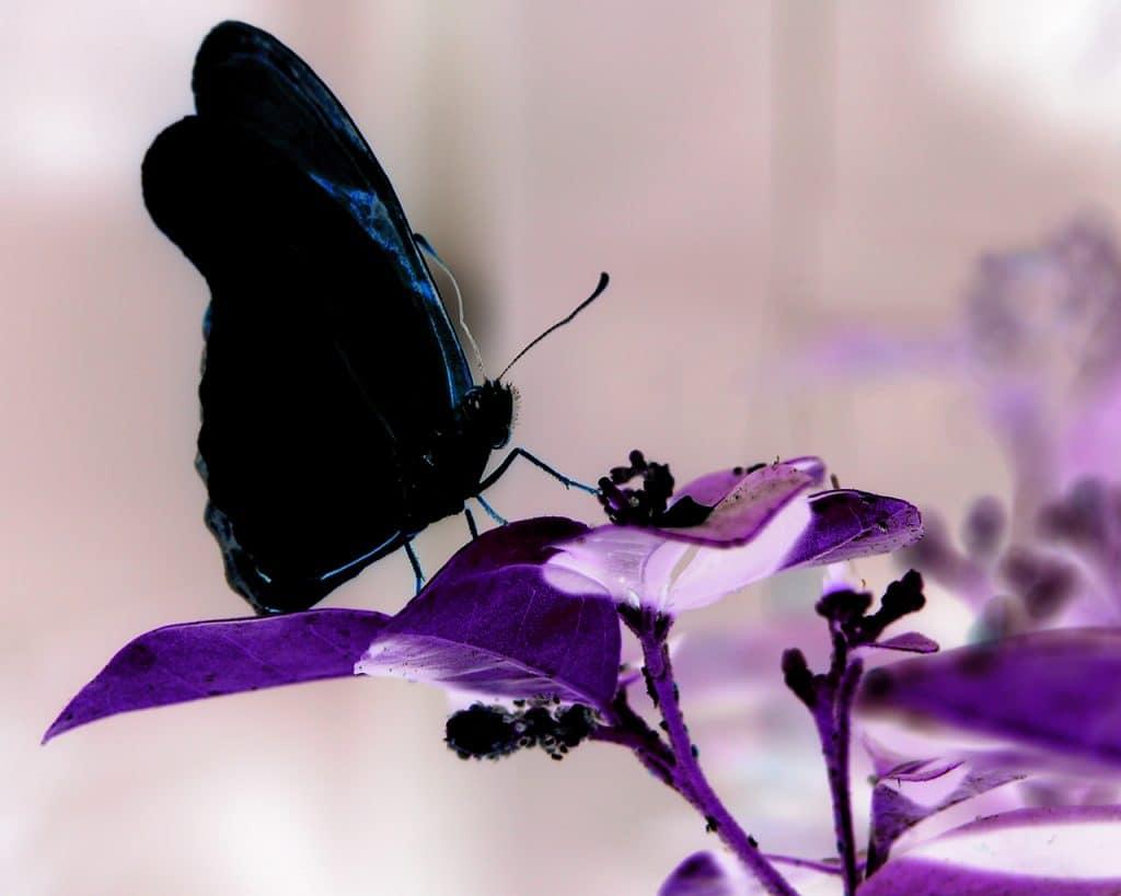 mariposas negras