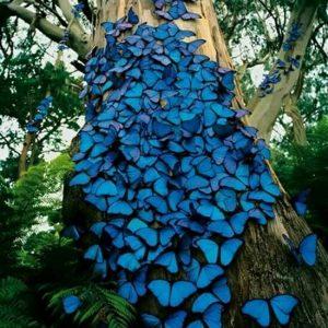 mariposas azules juntas