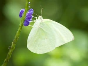 tipos de mariposas blancas de buena suerte
