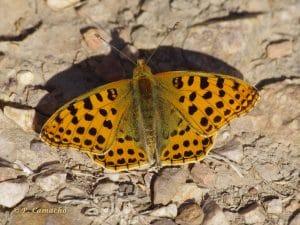 tipos de mariposa en españa
