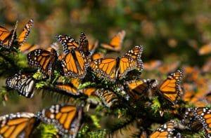 tipos de mariposa en mexico monarca la favorita