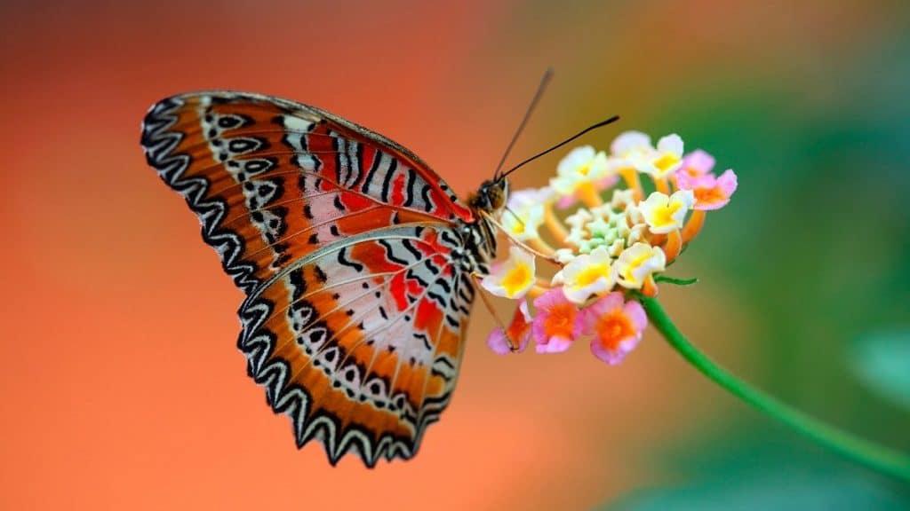 tipos de mariposa llamatico color