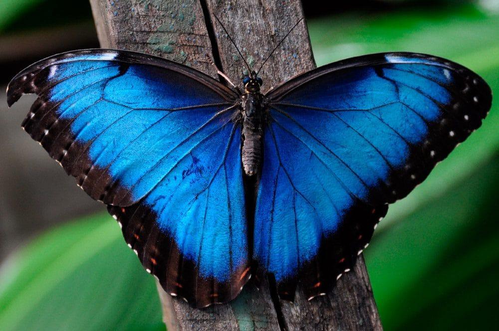 mariposa azul cambios