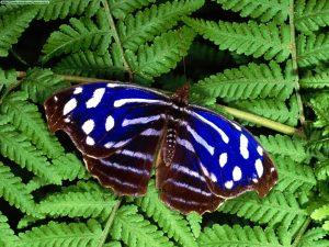 tipos de mariposa Costa Rica