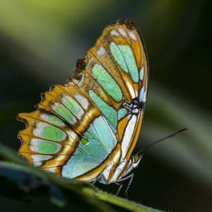 tipos de mariposa ecuador