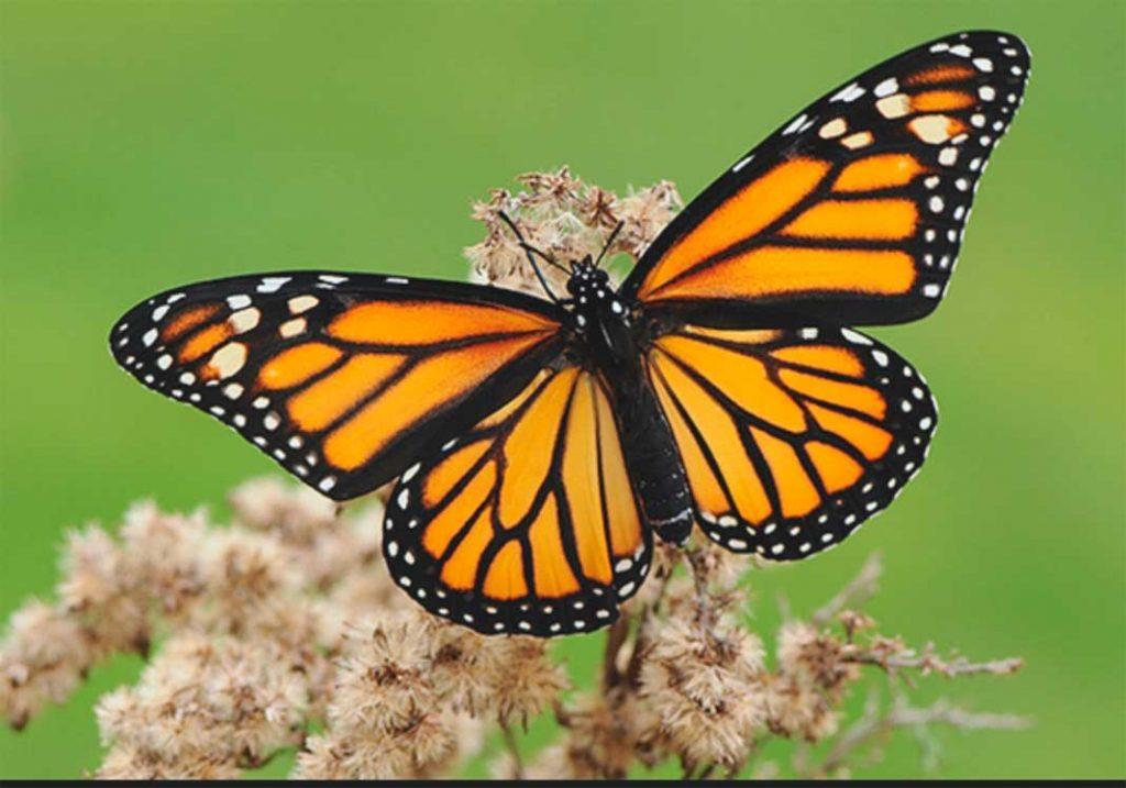 tipos de mariposas monarca