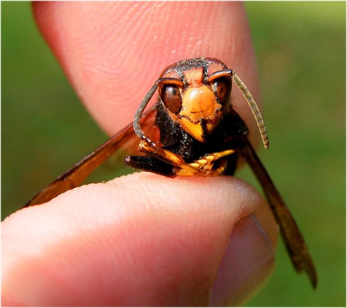 estrategias de la vespa mandarinia