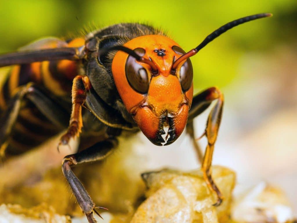 vespa mandarinia o avispa japonesa