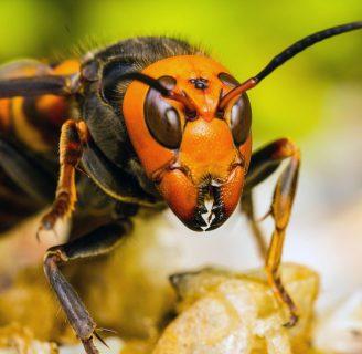 Vespa mandarinia o avispa japonesa: Conoce de su picadura y mucho más