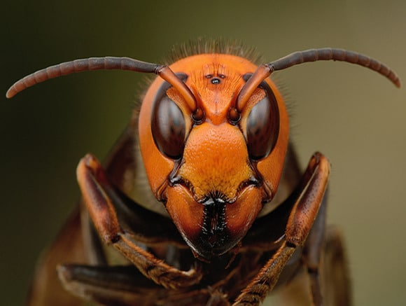 cabeza de la tamaño de la vespa mandarinia