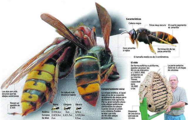 otras características de la avispa japonesa