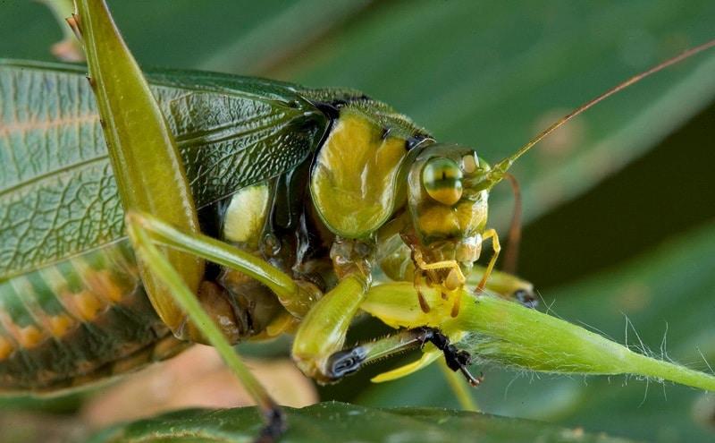 Mantis religiosa: Características, hábitat, alimentación y más