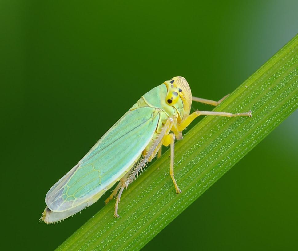 homóptera-39