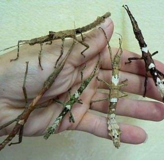 Insecto palo: Características, alimentación, reproducción y más