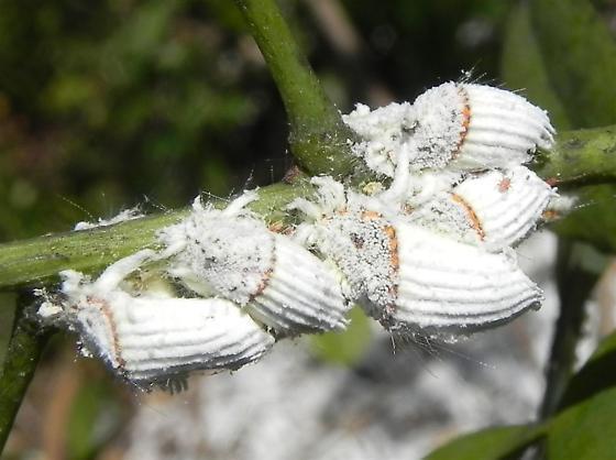 homóptera-31