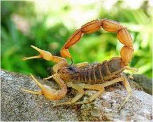 escorpión-o-alacrán-7