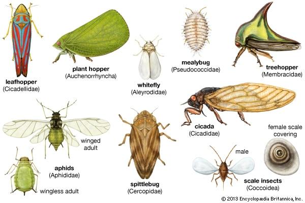 Homóptera