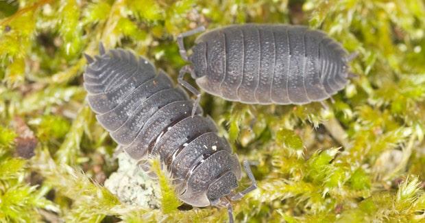 homóptera-24