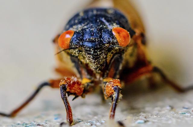 homóptera-17