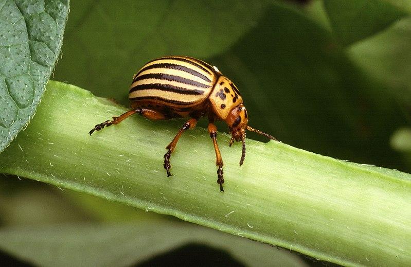 escarabjo patata
