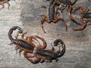 escorpión-o-alacrán-1