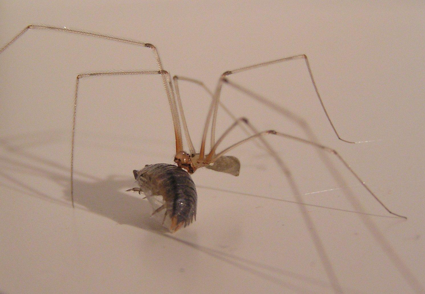 Araña-patona10