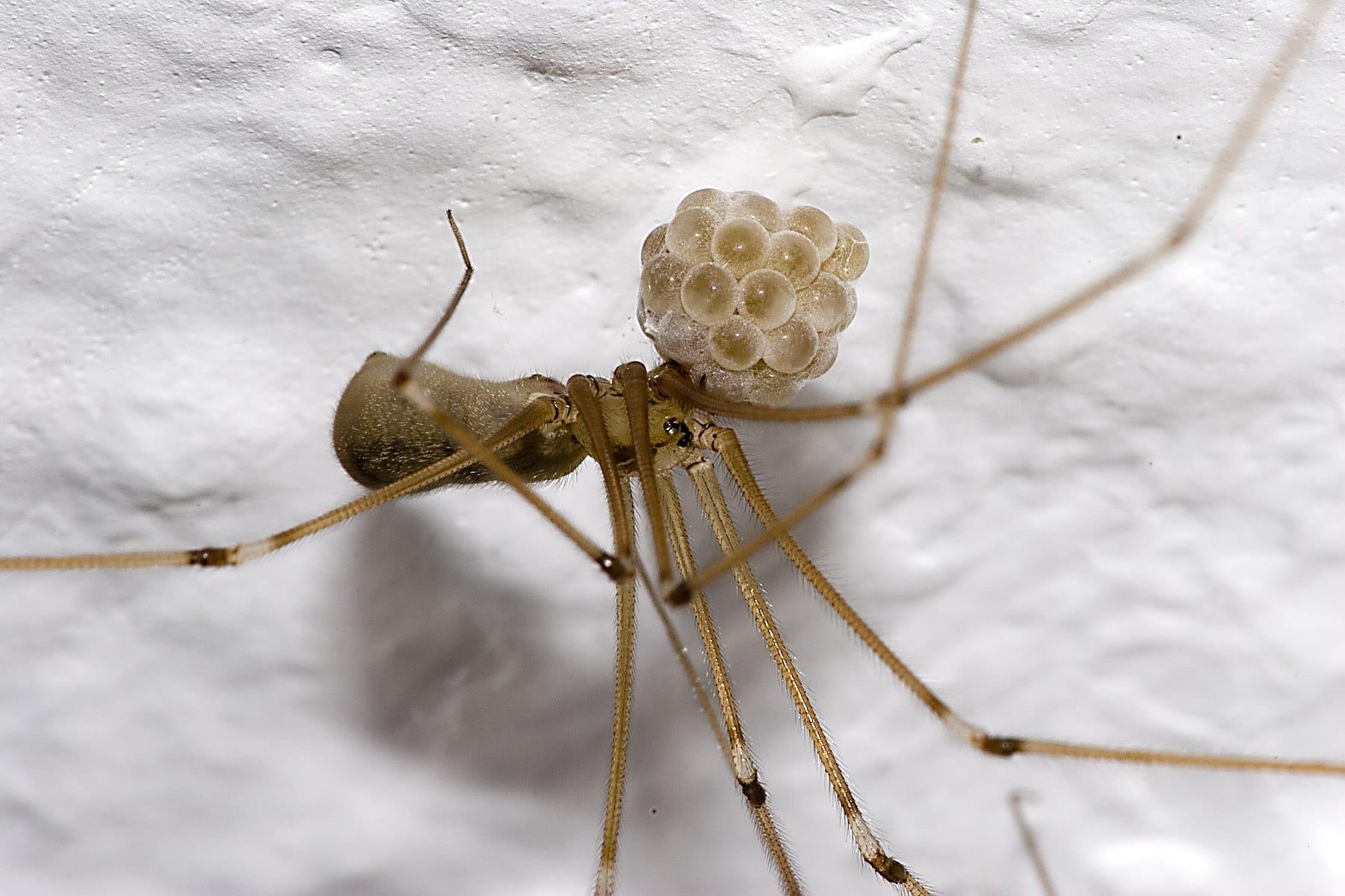 Araña-patona2