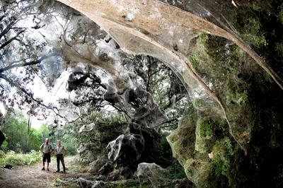 Arañas-gigantes-del-congo1