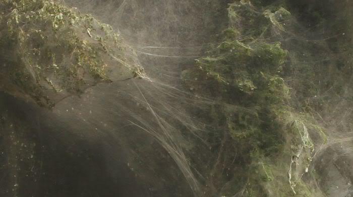 Arañas-gigantes-del-congo4