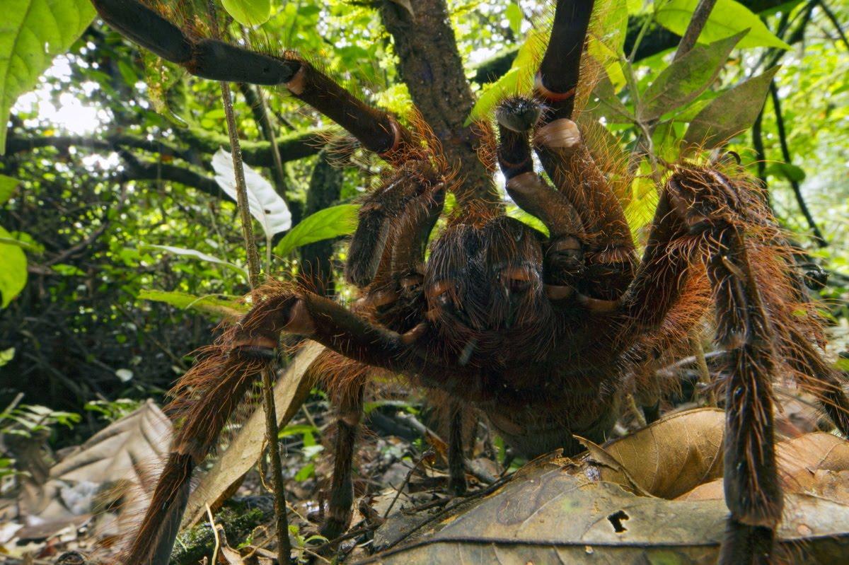 Arañas-gigantes-del-congo5