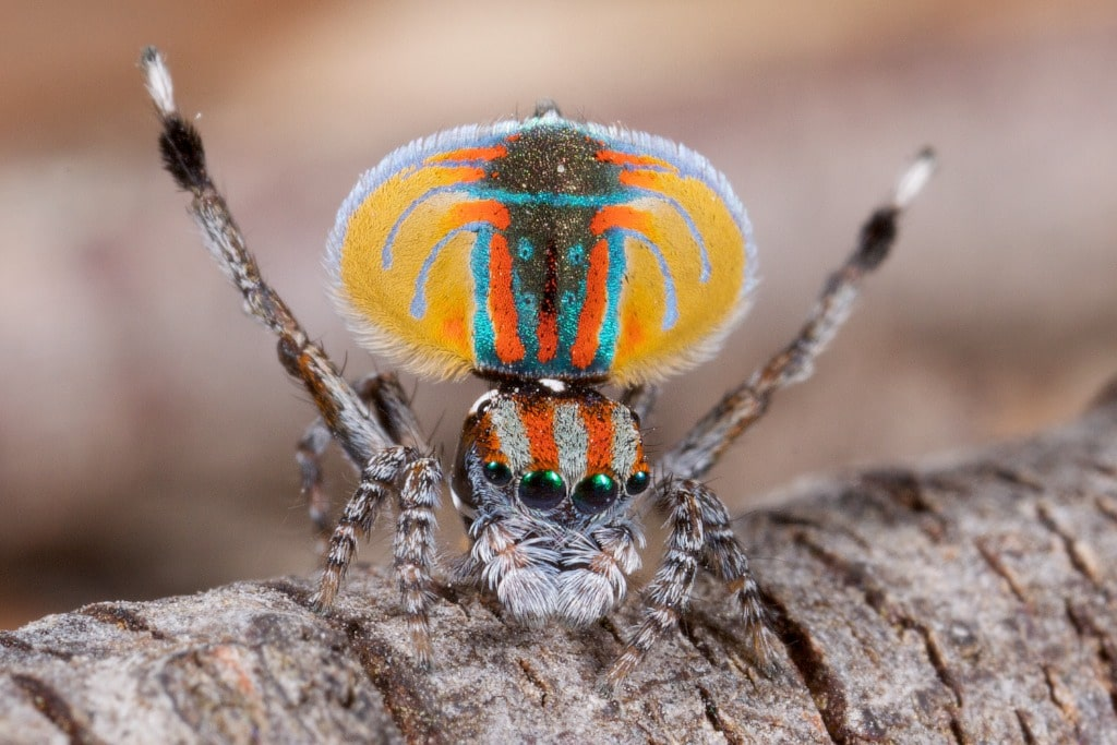 Arañas-pavo-real2