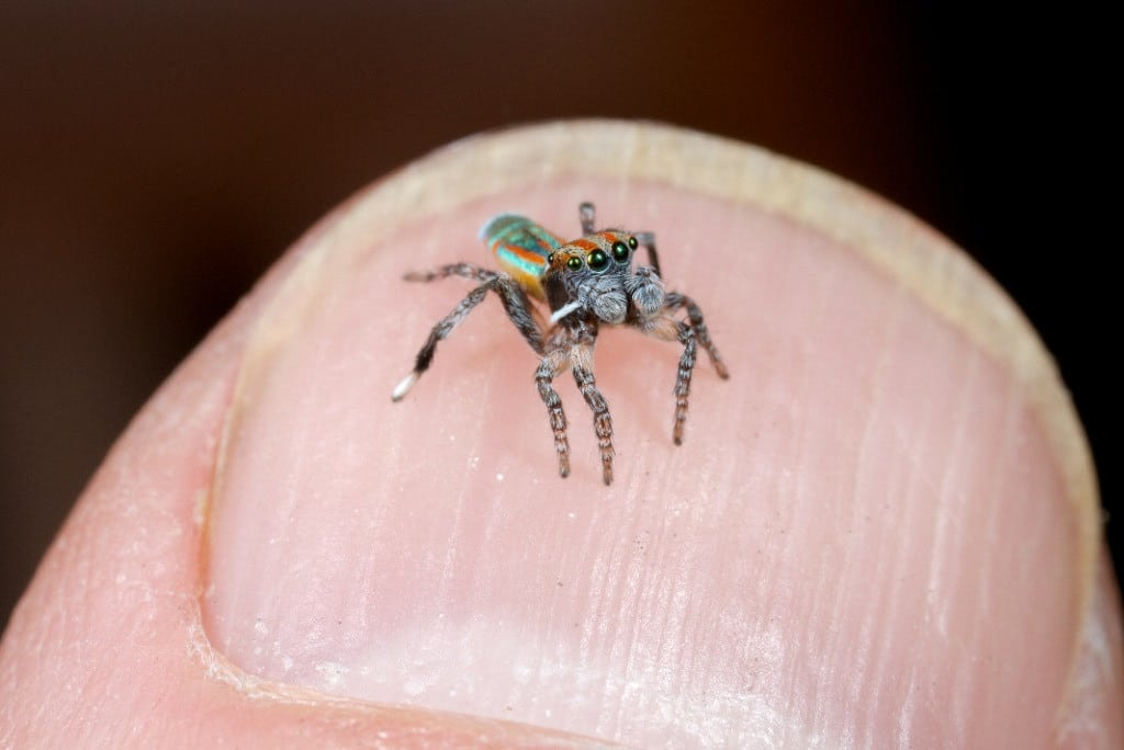 Arañas-pavo-real3