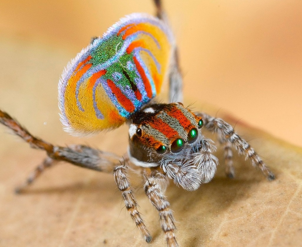 Arañas-pavo-real4