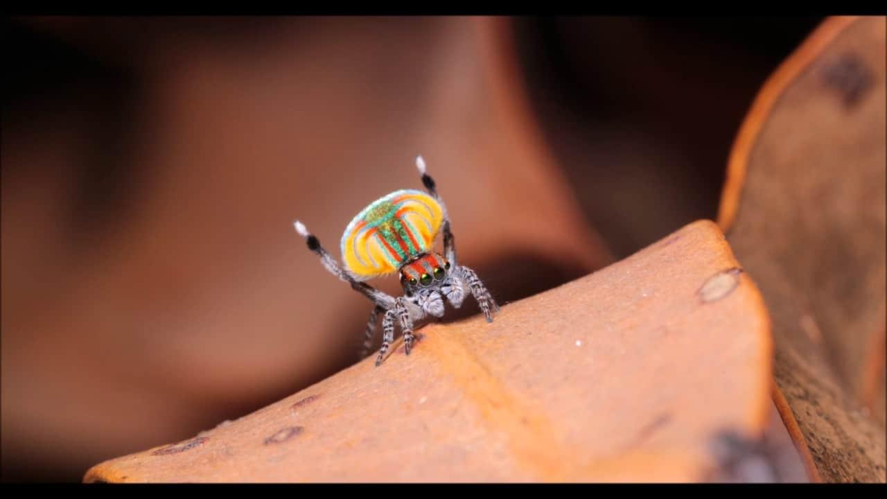 Arañas-pavo-real5