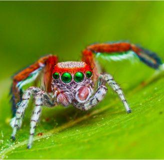 Arañas saltarinas: Todo lo que debes saber