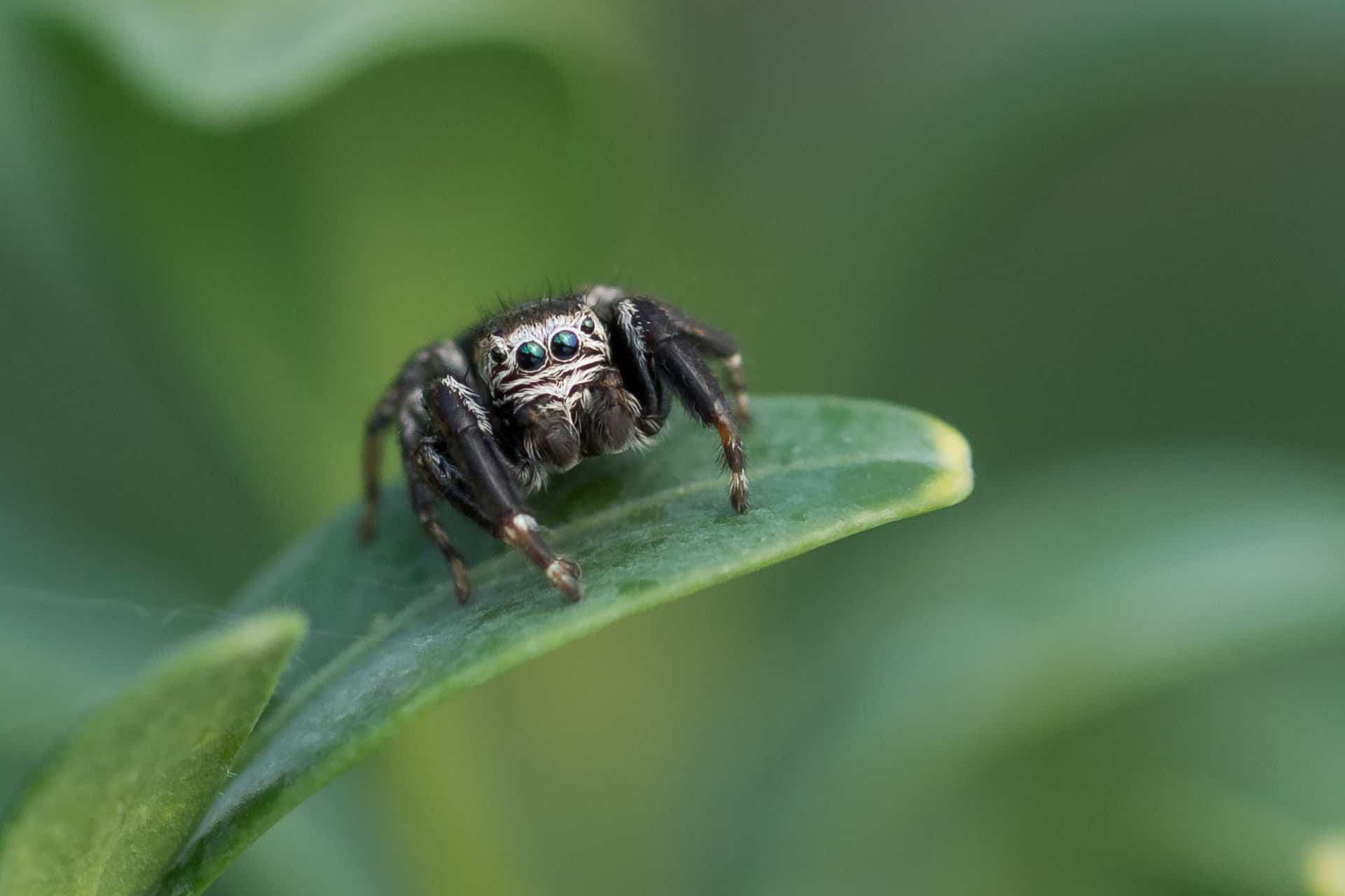 Arañas-saltarinas4