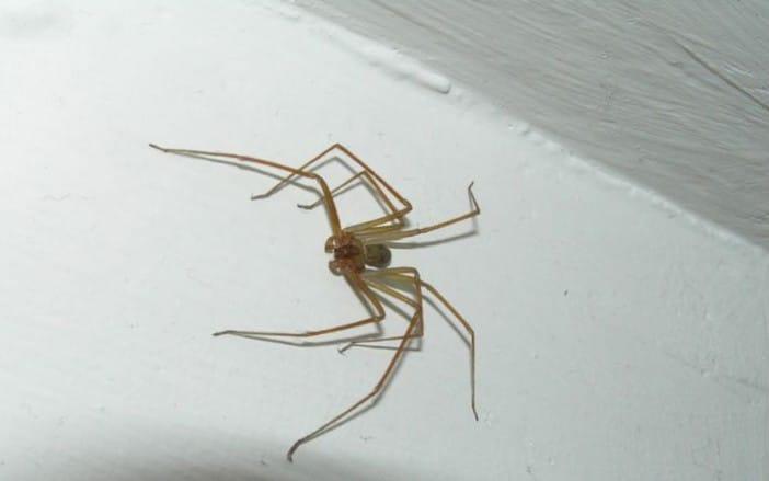Arañas-violinistas-o-araña-de-los-rincones12