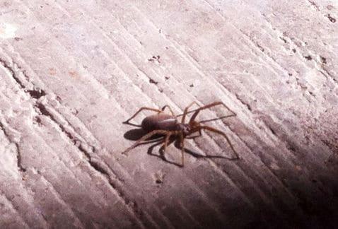 Arañas-violinistas-o-araña-de-los-rincones14