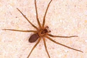 Arañas-violinistas-o-araña-de-los-rincones15