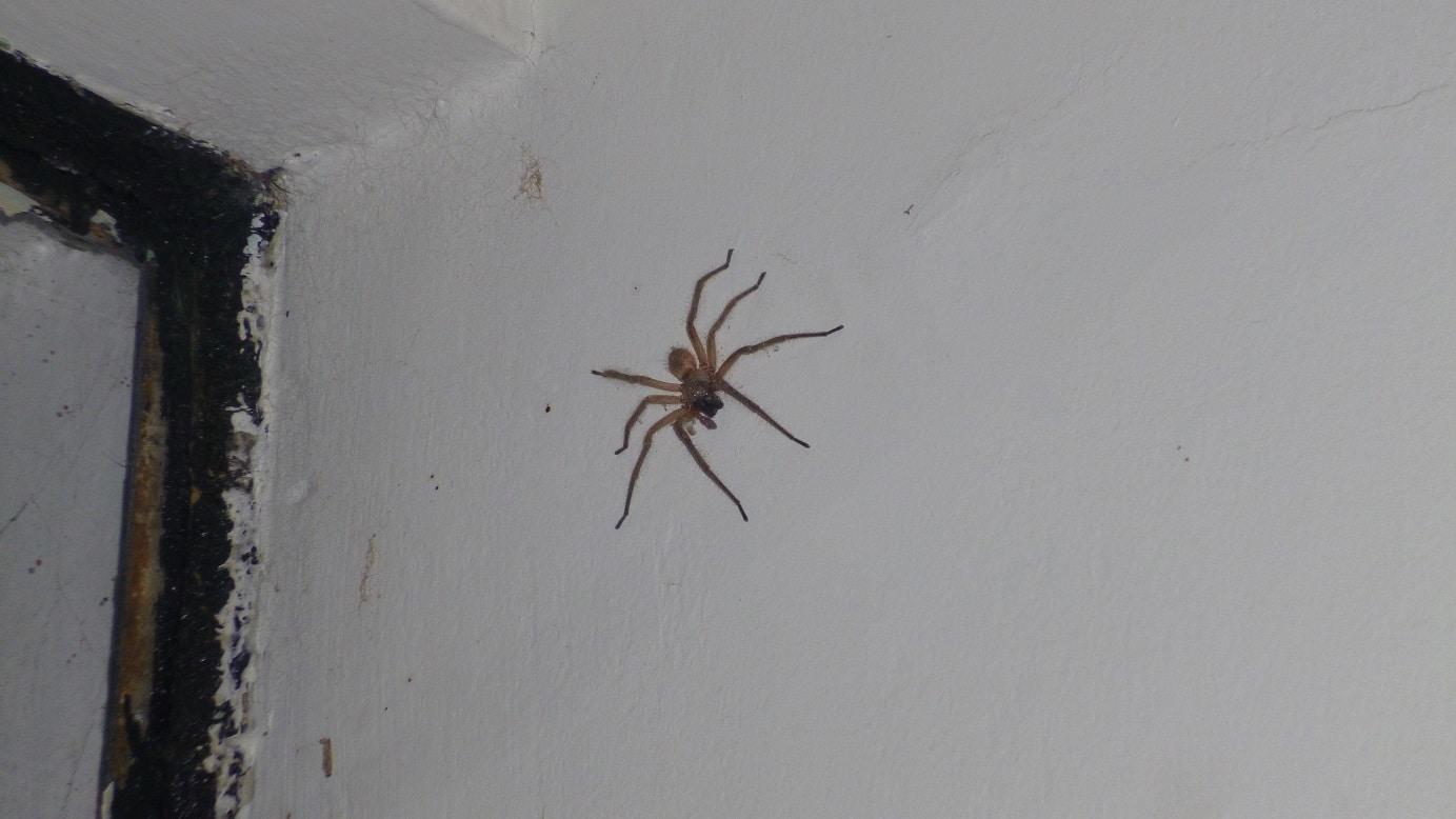 Arañas-violinistas-o-araña-de-los-rincones9