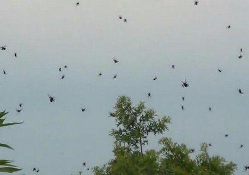 Arañas-voladoras5